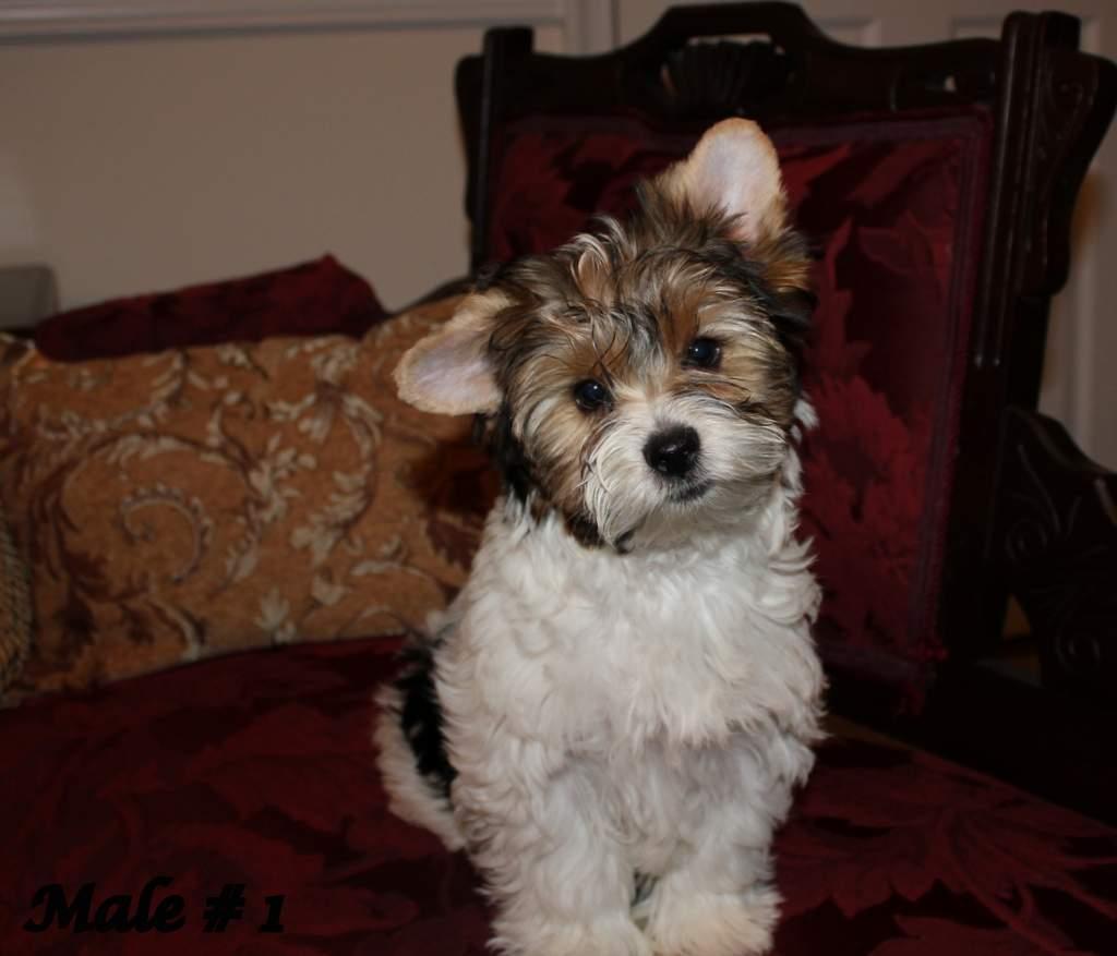 Yorkie Puppies for Sale in Virginia   Royal Darling Biewers